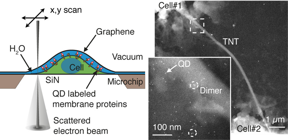 Graphene Liquid Enclosure for Single-Molecule Analysis of Membrane Proteins in Whole Cells Using Electron Microscopy